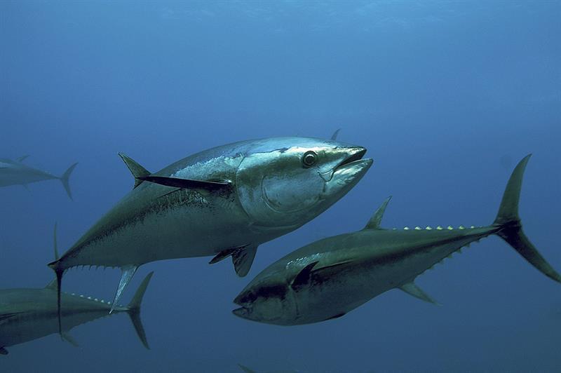Masa depan ikan tuna sirip biru dimainkan mulai hari ini di Marrakech - Noticias Invertalia